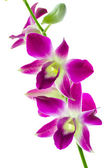 Orchid — Stockfoto