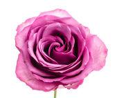 Rosa aislado en blanco — Foto de Stock