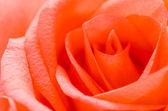 Rosa — Fotografia Stock