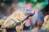 Wild Iguana — Stock Photo