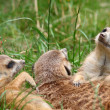 Chilling meerkats - Stock Photo
