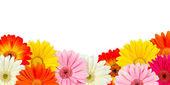 Colorful gerbera blossoms — Stock Photo