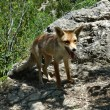 Red Fox (Vulpes vulpes) in a rock - Stock Photo
