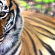 Tiger In Deep Thought — Stock Photo