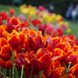 Stock Photo: Tulips at Dallas Arboretum