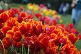Tulips at the Dallas Arboretum — Stock Photo