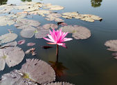 Pink lotus flower in the lake — Stock Photo
