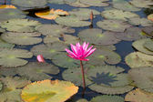 Lotus flower in the pond — Stock Photo