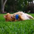 Stock Photo: Dog and Toy