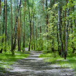 le sentier dans la forêt avec les bouleaux et les pins dans un jour de printemps — Photo #15732017