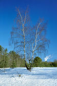 Birch tree in the winter forest — Stok fotoğraf