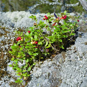 Cowberry on a stone covered with lichen — Stock Photo