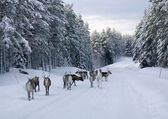 Reindeer on the road in northern Sweden in winter — Stock Photo