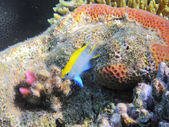 Tropical fish on the coral reef — Stock Photo
