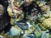 Ryba na rafa koralowa w morzu czerwonym — Zdjęcie stockowe