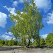 Stock Photo: Birch on sand glade