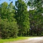 bouleaux, de pins et de sentier dans le parc — Photo #16027581