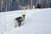 Reindeer in northern Sweden in winter — Stock Photo