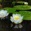 Blooming water lilies - Stock Photo