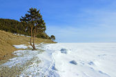 The tree on the shore of frozen Lake Baikal — Stock Photo