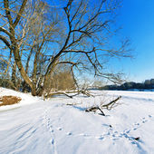 Tree on the frozen river on a sunny winter day — Stock Photo