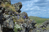 Blooming harebell in Northern Ural Mountains, Russia — Stock Photo
