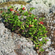 Cowberry on a stone covered with lichen in Karelia — Stock Photo