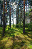 Pine forest in the back-lighting after the rain — Stock Photo