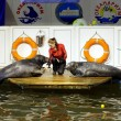 Seals show in the Murmansk oceanarium — Stock Photo