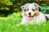 Young puppy — Stock Photo
