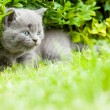 Young grey kitten lying in the garden on fresh green grass - Stock Photo