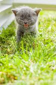 Gatito gris joven tirada en el jardín de hierba verde fresca — Foto de Stock