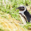 Penguin in the wild - Stock Photo