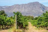 Vinha da áfrica do sul — Foto Stock
