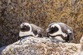 Penguin in the wild — Stockfoto