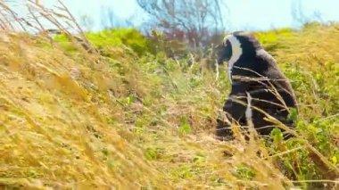 Penguin in the wild — Stock Video