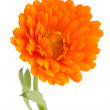 Pot marigold (Calendulofficinalis) isolated on white background — Stock Photo #15732077