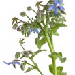 Stock Photo: Starflower (Borage) isolated on white background