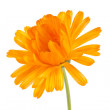 Pot marigold (Calendulofficinalis) isolated on white background — Stock Photo #15732155