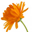 Pot marigold (Calendulofficinalis) isolated on white background — Stock Photo #15732167