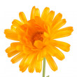 Pot marigold (Calendulofficinalis) isolated on white background — Stock Photo #15732189