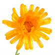Pot marigold (Calendulofficinalis) isolated on white background — Stock Photo #15732195