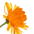 Pot marigold (Calendulofficinalis) isolated on white background — Stock Photo #15732245
