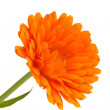 Pot marigold (Calendulofficinalis) isolated on white background — Stock Photo #15732297