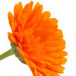 Pot marigold (Calendulofficinalis) isolated on white background — Stock Photo #15732299