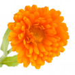 Pot marigold (Calendulofficinalis) isolated on white background — Stock Photo #15732325