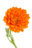 Pot marigold (Calendula officinalis) isolated on white background — Stock Photo