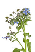 Starflower (Borage) isolated on white background — Stockfoto
