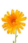Pot marigold (Calendula officinalis) isolated on white background — Stockfoto