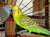 Whispering budgerigars — Stock Photo